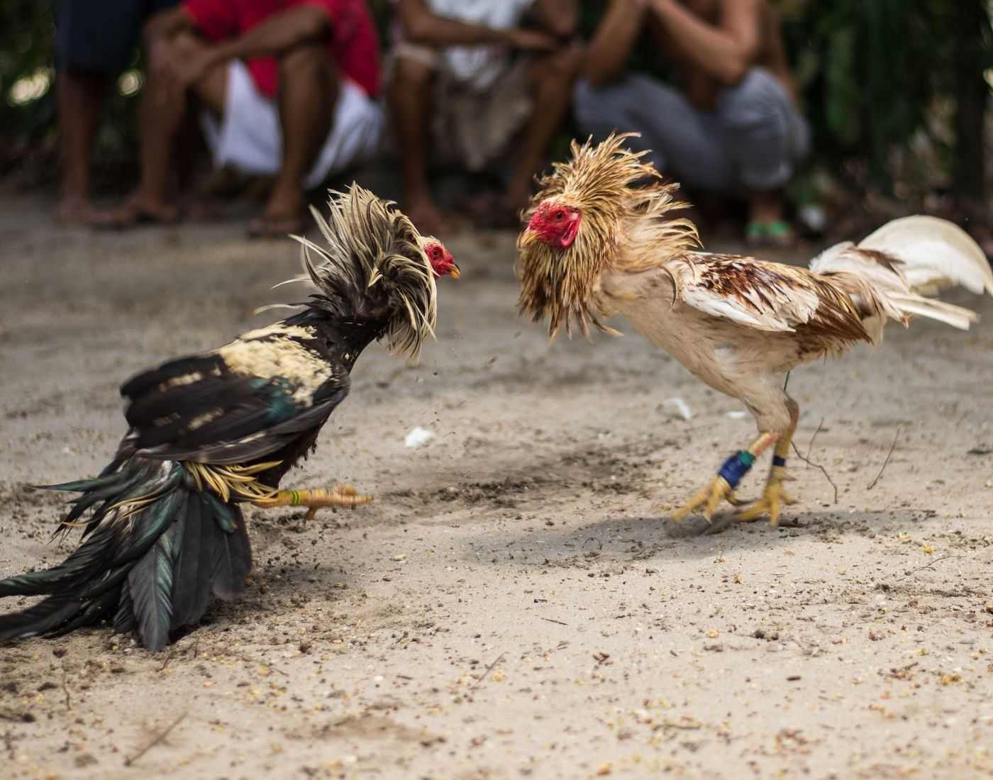 Cockfighting Murgh Janghi